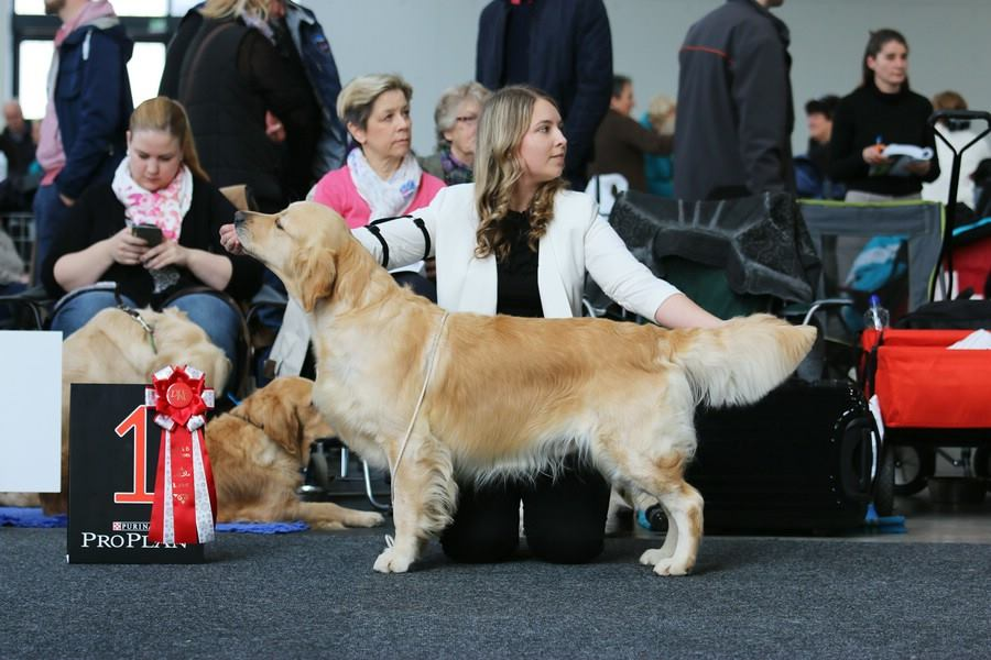 CACIB Karlsruhe Golden Retriever