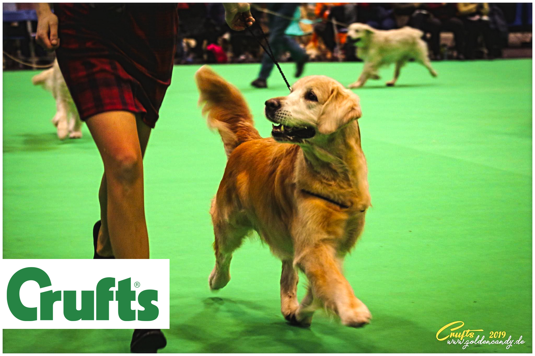 Crufts 2019 Golden Retriever